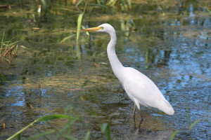Intermediate Egret by Derek Ball